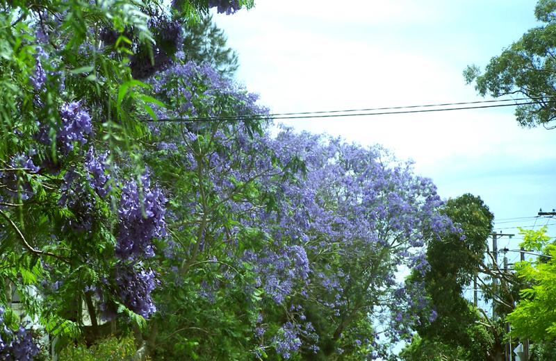 jacaranda_004.jpg